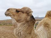 foto of arabian  - A portrait of a Arabian camel or Dromedary with a facial expression on Fuerteventura belonging to Spain - JPG