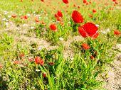 pic of poppy flower  - Field of poppies - JPG