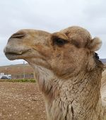 pic of arabian  - A portrait of a Arabian camel or Dromedary with a facial expression on Fuerteventura belonging to Spain  - JPG