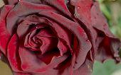 image of rose close up  - The Red rose flower close - JPG