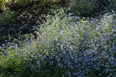 stock photo of forget me not  - Springtime Forget me nots on a Sunny Day - JPG