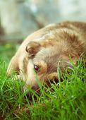 stock photo of wolf-dog  - Dog in grass - JPG