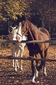 stock photo of brown horse  - Brown and white horses on autumn background - JPG