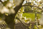 stock photo of orchard  - wallpaper of apple blossom tree in rural orchard - JPG