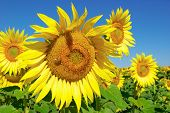 pic of eukaryote  - Sunflowers blooming in field on a background of blue sky - JPG