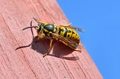 stock photo of vespa  - Large female wasp sits on a wooden board - JPG