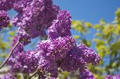 foto of lilac bush  - Blooming lilac bushes against the clear blue sky in spring - JPG