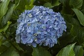 stock photo of hydrangea  - Light blue purple hydrangea on Cathedral Peak hotel - JPG