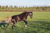 stock photo of brown horse  - Beautiful brown horse has fun in the summer meadow - JPG