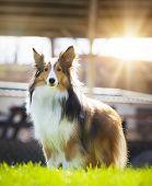 foto of sheltie  - One beautiful Shetland Sheepdog looks at camera standing outside in grass backlit - JPG