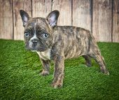 image of little puppy  - Tiny little French Bulldog puppy standing in the grass with a wooden fence behind him - JPG