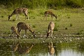 stock photo of deer family  - herd of spotted deers in the riverbank - JPG