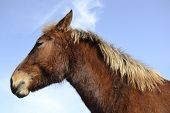 stock photo of stallion  - epic young hairy stallion looking at the nowhere - JPG