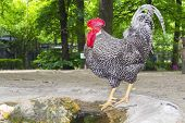 foto of hungarian  - Hungarian speckled rooster  - JPG