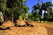 picture of mauritius  - Three giant turtles  - JPG