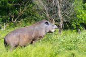 picture of tapir  - Lowland tapir  - JPG