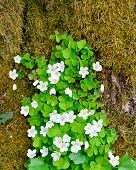 foto of sorrel  - Wood sorrel Oxalis acetosella in forest at springtime - JPG