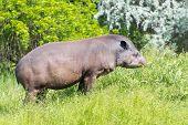 image of tapir  - Lowland tapir  - JPG