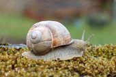stock photo of mollusca  - Snail gliding over green moss - JPG