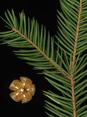 Spruce And Golden Cone