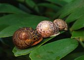 3 Snails on a leaf