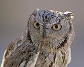 Western Screech Owl Pict5643