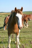 picture of clydesdale  - clydesdale looking at the camera while other clydesdales are grazing behind - JPG
