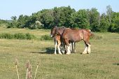 image of clydesdale  - clydesdale huddling up in a green meadow  - JPG