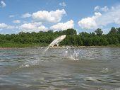 Karpfen Fisch springen