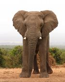 Elefante africano touro 1
