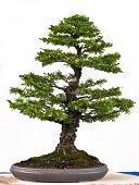 Japanese Elm As Bonsai Tree