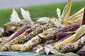 Colourful Indian Corn