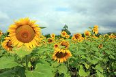 Sunflower And The Blue Sky With Clouds