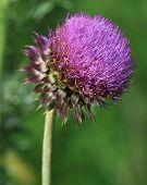 Purple Musk Thistle Bloom