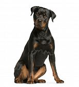 rottweiler dog, guard dog sitting and looking at the camera, isolated on white poster