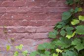 bricky wall & vitis leaf