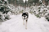 Portrait Of Husky Dog On Isolated Background poster