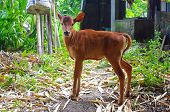 Calf On A Farm In Bali