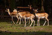 Herd Of Blackbuck Antilopes In A Dark Forest