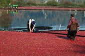 Farmers Working In The Cranberry Bog