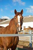 Hermoso caballo Trakehner