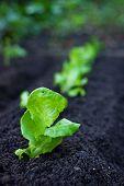 Veggie Patch: Lettuce