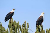 A Pair Of Fish Eagles Near The Kazinga Channel Uganda poster