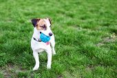 Purebred Jack Russell Terrier Dog Outdoors On Nature In The Grass. Happy Dog ​​in The Park On A Walk poster