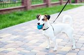 Purebred Jack Russell Terrier Dog Stands In A Park On A Leash In The Open Air. Happy Dog ​​in The Pa poster