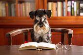 Cute Miniature Schnauzer Dog Reads A Book In The Classroom poster