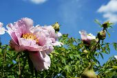 Blooming Tea Rose Against A Blue Sky - For Postcard poster