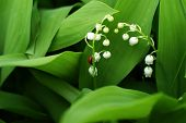 White Bells Flowers. Lily Of The Valley poster