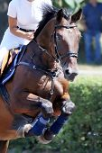 Head Of A Beautiful Young Sport Horse At Racecourse During Show Jumping Training Under Saddle With U poster