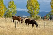 Pair Of Brown Horses Grazing In A Brown Field Background poster
